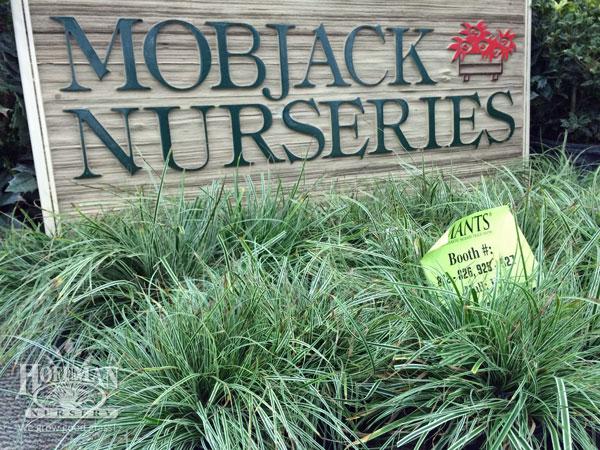 Carex Everest at Mobjack Nurseries